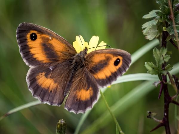 Gatekeeper Butterfly by pauljt