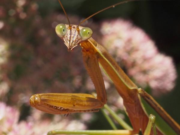 Preying Mantis by handlerstudio