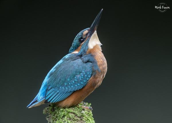 Kingfisher by mufftrix