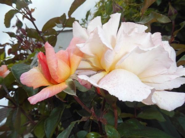roses by jenny007