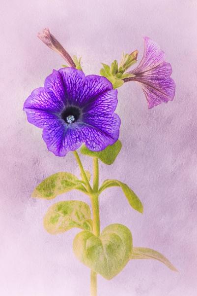 Petunia by flowerpower59