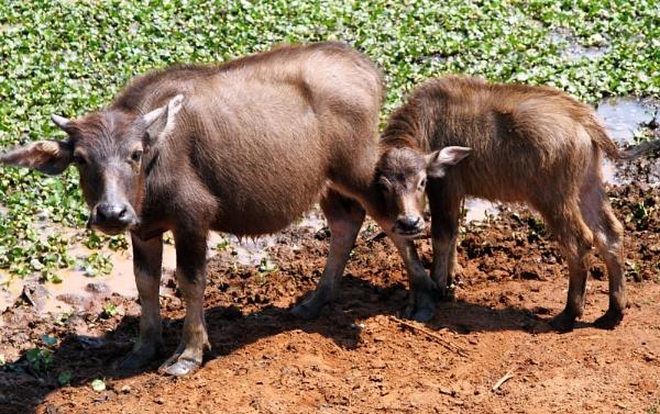 Baby Water Buffalo by mikekay