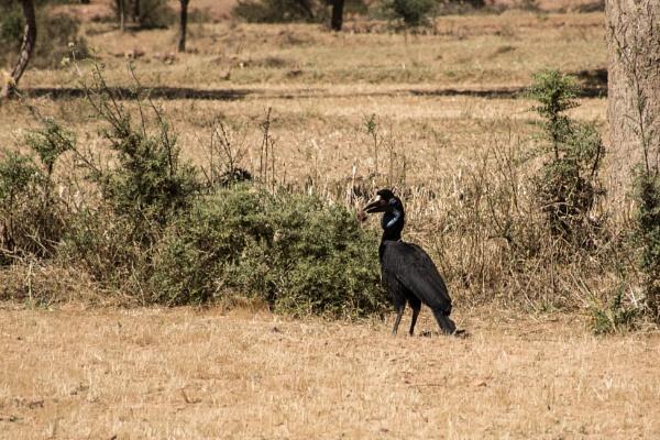 Abyssinian Hornbill by barryyoungnz