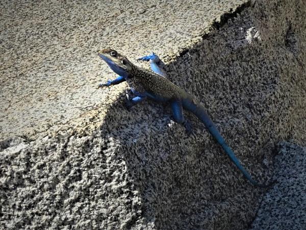 Gecko - Ethiopia by barryyoungnz