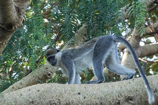 Monkey (2) - Ethiopia by barryyoungnz