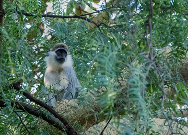 Monkey (3) by barryyoungnz