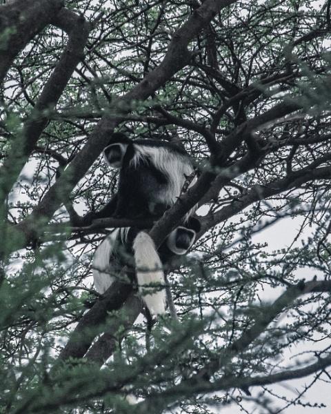 Colobus Monkeys - Ethiopia by barryyoungnz