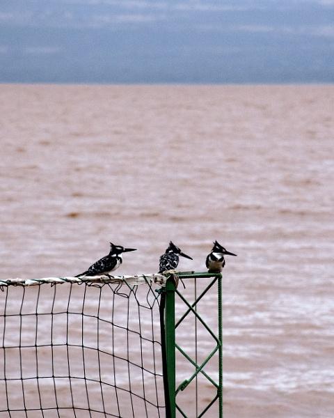 Kingfishers - Ethiopia by barryyoungnz