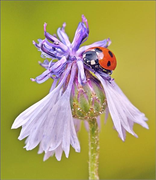 Ladybird on Cornflower. by bricurtis