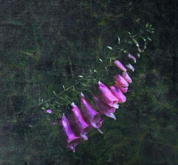 Foxglove by adagio