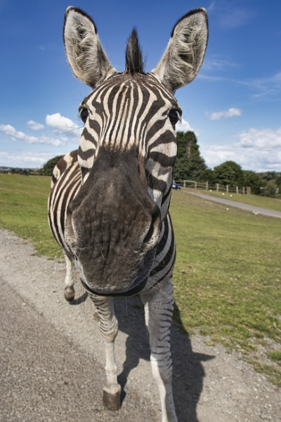 Zebra greeting by PGibbings