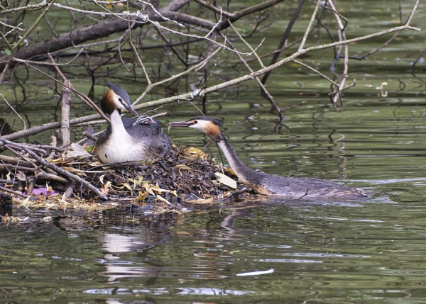 Grebes with chick by PGibbings