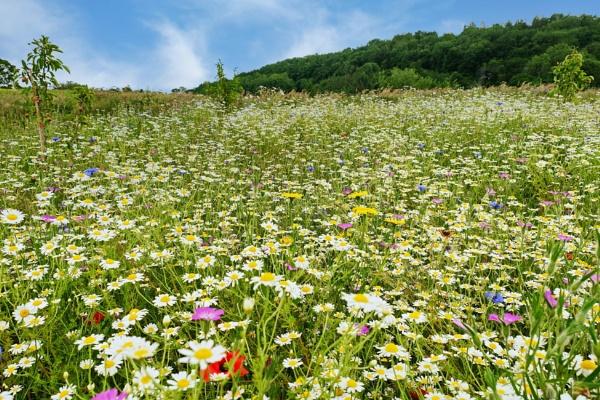Wildflower meadow by DaveThornton