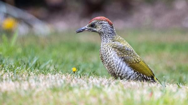 Juvenile Green Woodpecker by Knowlesie
