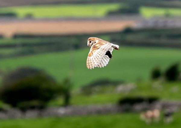 Barn owl and dinner by STUARTHILL758