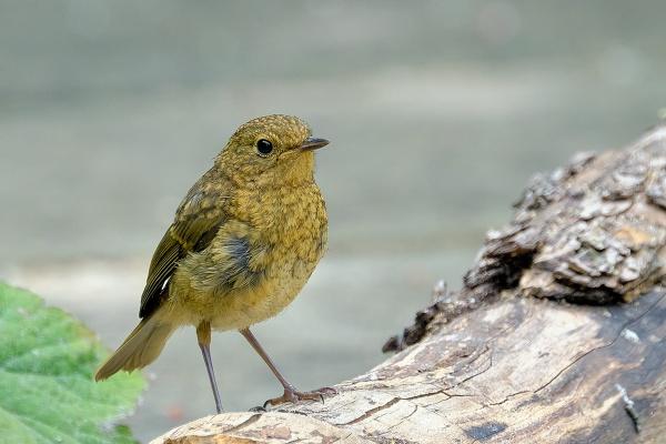 Young Robin by photographerjoe