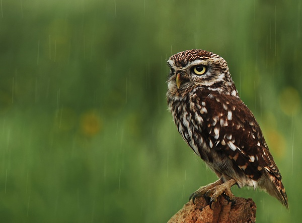 Little Owl in the Rain by Buffalo_Tom