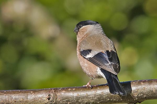 Bullfinch (female) by johnsd