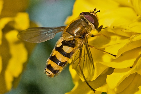 Hoverfly (Syrphus ribesii) by johnsd