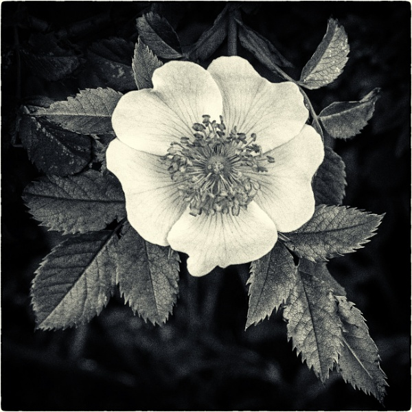 A darker shade of pale by mrswoolybill