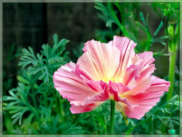 California Poppy by Sylviwhalley