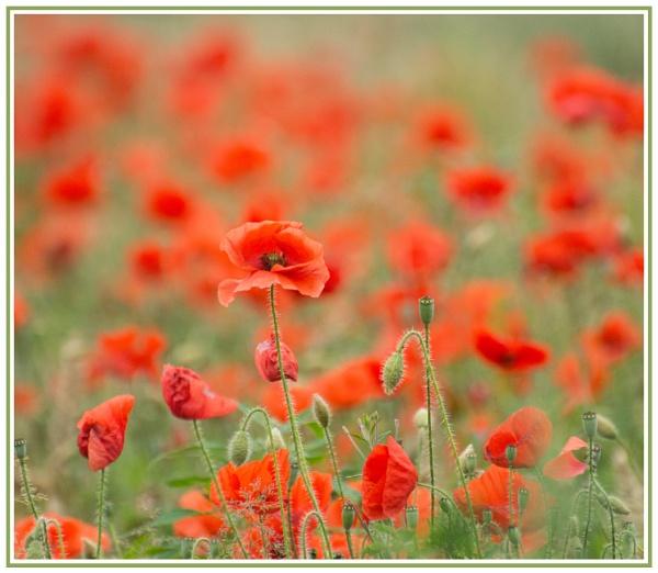 Poppy Field by LinH
