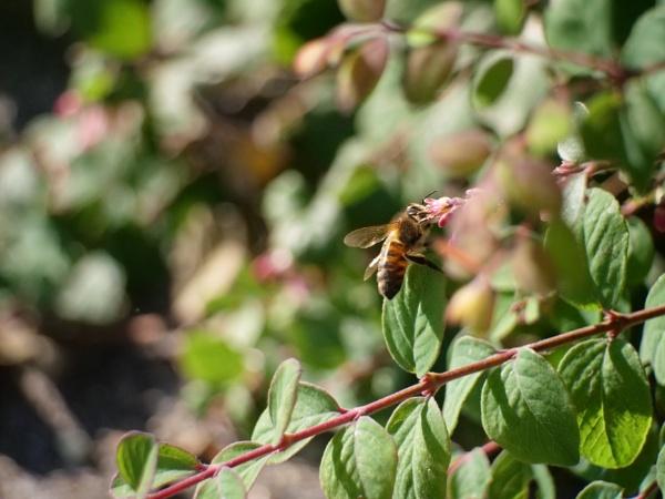 honey bee by sparrowhawk