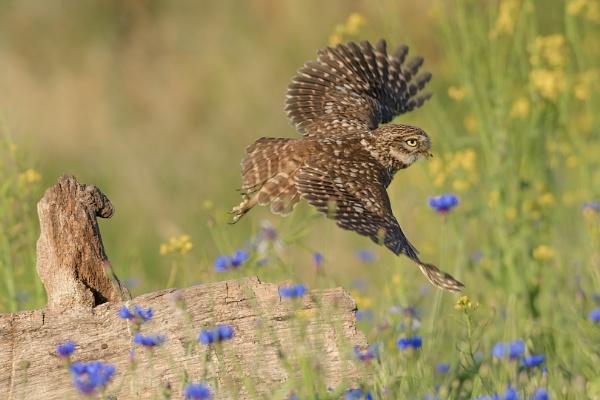 little owl by olafo