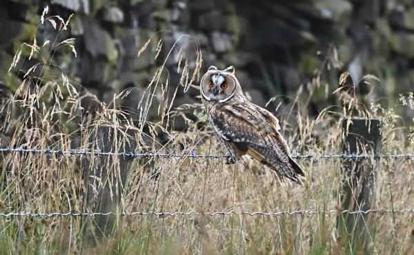 Long Eared Owl by Len1950