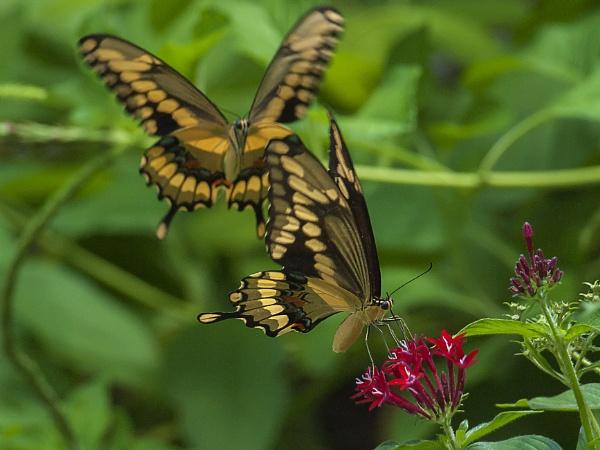 Tiger swallowtail butterflies by jbsaladino