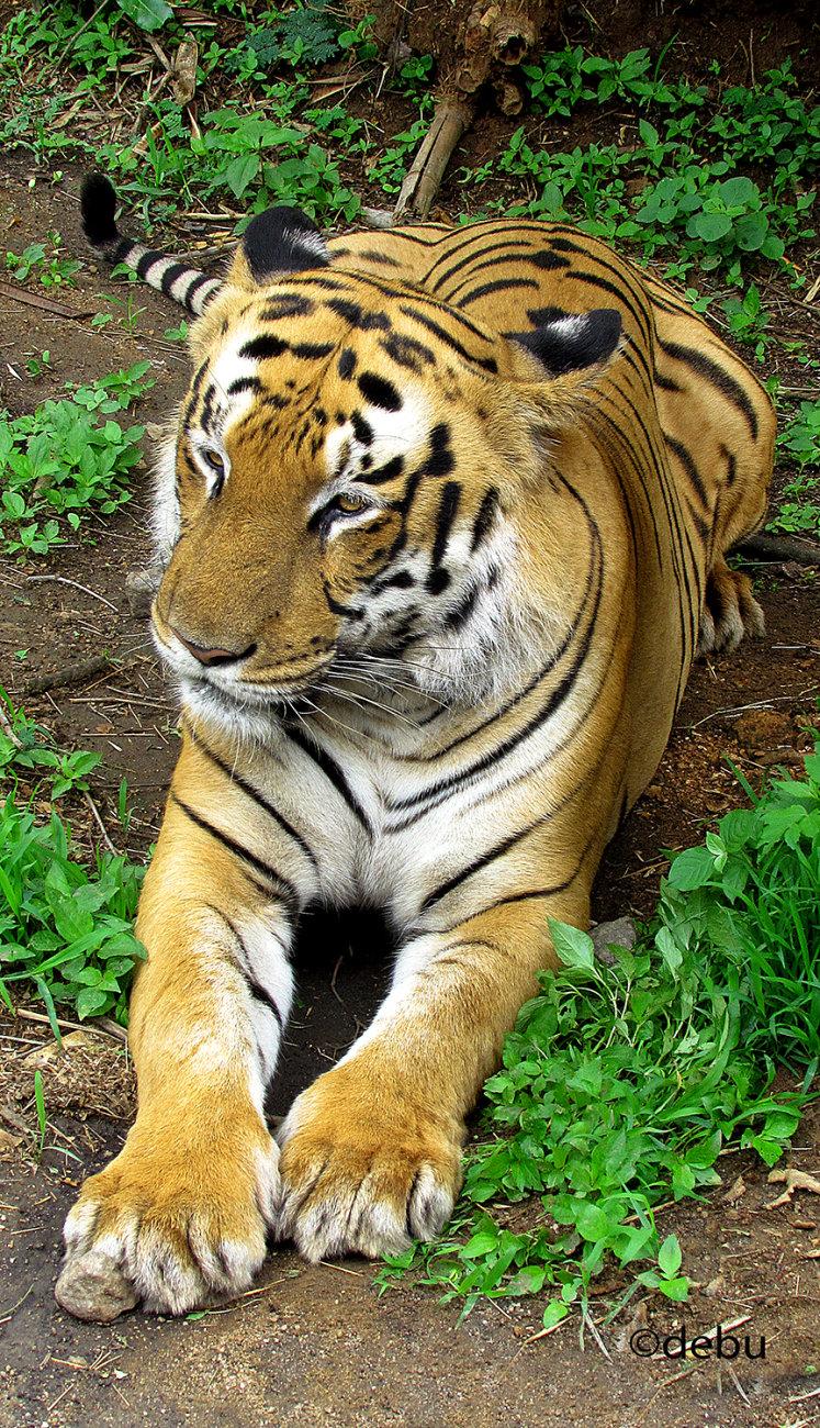 Kolkata # 47 Happy International Tiger Day 29th july 2020