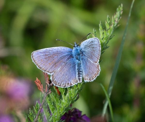 Silver-Studded Blue by jasonrwl