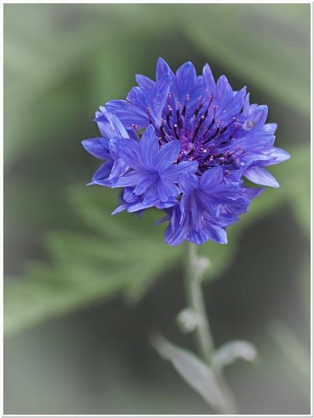 cornflower by CaroleS