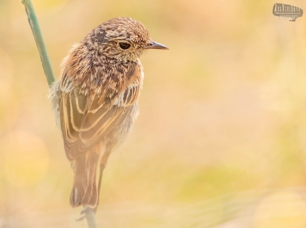 Juvenile Stonechat by MartinWait