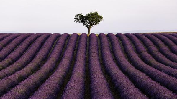 Lavender field.... by trusth