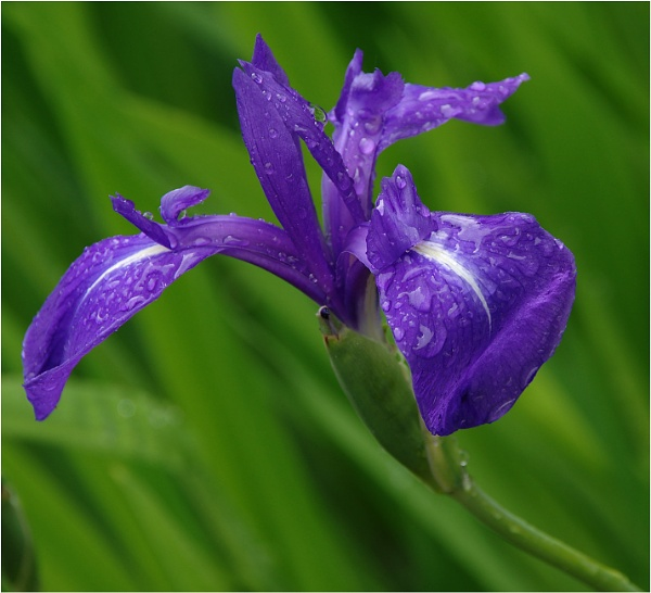 Iris by johnriley1uk