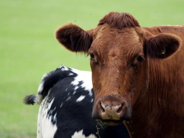 Cow by DerekHollis