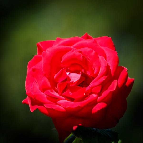 Petal of blooming rose in garden by rninov