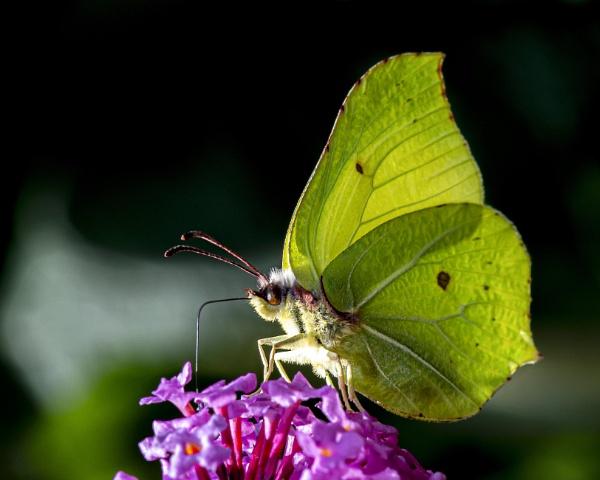 Brimstone butterfly ? by MetalMickee