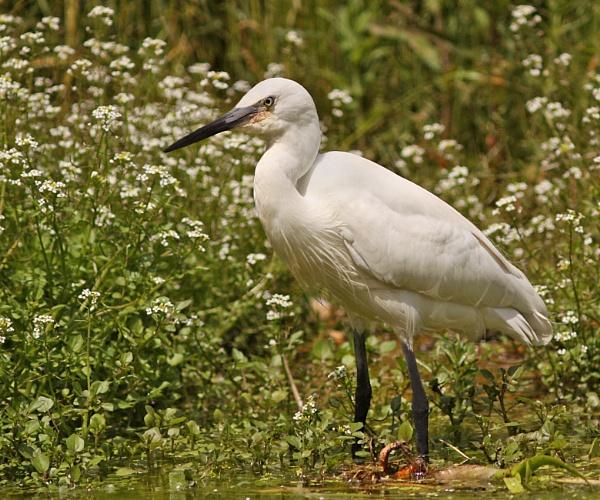 Little Egret by bobpaige1