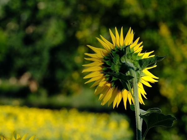 sunflower back by jeakmalt