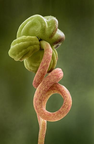 Nasturtium Seedpod by iangilmour