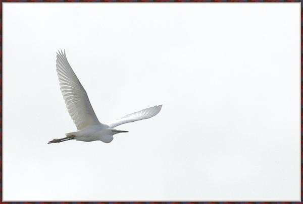 Egret in flight by Cotswold88