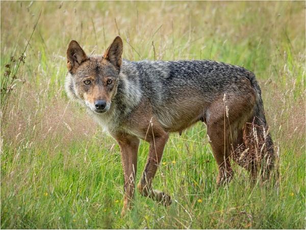 Iberian Wolf by Leedslass1