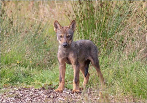 Wolf Cub by Somerled7