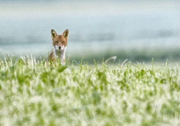 Fox in Röylä 3 by hannukon