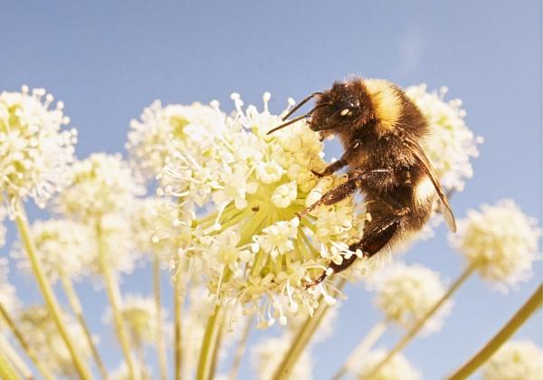 Bumblebee in Röylä by hannukon