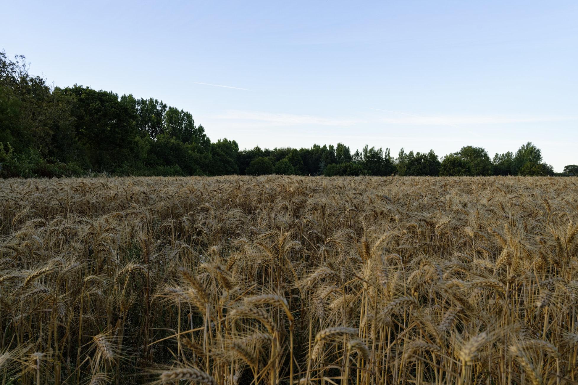 Field's of barley.