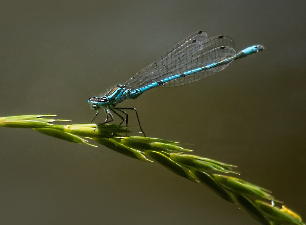 Common blue damselfly by dven