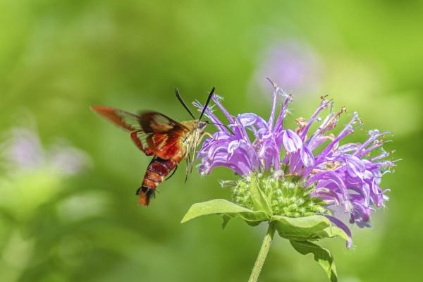 Hummingbird Moth by TDP43